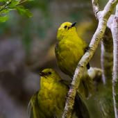 Yellowhead. Adult (above) and fledgling. Eglinton Valley Fiordland, March 2014. Image © Glenda Rees by Glenda Rees Glenda Rees (http://www.flickr.com/photos/nzsamphotofanatic/) (https://www.facebook.com/NZBANP?ref=hl)