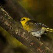 Yellowhead. Adult in side profile. Catlins Forest, March 2014. Image © Glenda Rees by Glenda Rees http://www.flickr.com/photos/nzsamphotofanatic/ (https://www.facebook.com/NZBANP?ref=hl)