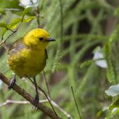 Yellowhead. Adult male. Ulva Island, October 2015. Image © Kathy Reid by Kathy Reid https://www.flickr.com/photos/kathy55/