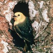 Yellowhead. Adult at nest entrance. Mount Aspiring National Park. Image © Department of Conservation (image ref: 10028039) by Mike Soper, Department of Conservation Courtesy of Department of Conservation