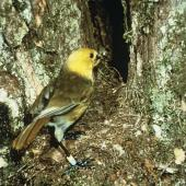 Yellowhead. Adult entering nest hole with food for chicks. . Image © Department of Conservation (image ref: 10028040) by Department of Conservation  Courtesy of Department of Conservation