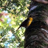 Yellowhead. Adult male foraging. Catlins, August 2010. Image © Cheryl Pullar by Cheryl Pullar