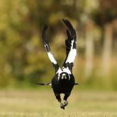 Australian magpie. Adult in flight, frontal view. Wanganui, December 2014. Image © Ormond Torr by Ormond Torr