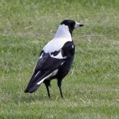 Australian magpie. Adult male on grass showing white back. Karori Wellington, November 2009. Image © Duncan Watson by Duncan Watson