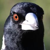 Australian magpie. Face of white-backed adult; showing bill colour, eye colour, and weak feather gloss. Lower Hutt, June 2016. Image © Robert Hanbury-Sparrow by Robert Hanbury-Sparrow