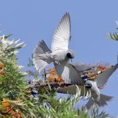 Masked woodswallow. Two adult males foraging for nectar. Narrabri, New South Wales, October 2018. Image © Mary Wheeler 2019 birdlifephotography.org.au by Mary Wheeler