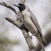 Masked woodswallow. Adult male. Gluepot Reserve, South Australia, November 2016. Image © Gunther Frensch 2016 birdlifephotography.org.au by Gunther Frensch