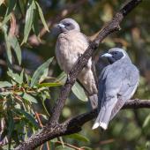 Masked woodswallow. Adult pair (female on left). Warrumbungle Visitor Centre, New South Wales, November 2018. Image © Linda Unwin 2019 birdlifephotography.org.au by Linda Unwin