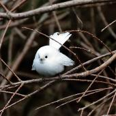 New Zealand fantail. Leucistic adult, at rest after hunting insects. Stratford, July 2020. Image © Paul Le Roy by Pau Le Roy