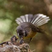 New Zealand fantail. Adult North Island fantail feeding a damselfly to its chick in nest. Auckland, November 2014. Image © Bartek Wypych by Bartek Wypych