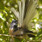 New Zealand fantail. Adult South Island fantail (pied morph) preening. Kaituna scenic reserve Canterbury, March 2014. Image © Steve Attwood by Steve Attwood   http://www.flickr.com/photos/stevex2/
