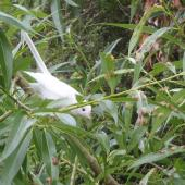 New Zealand fantail. Leucistic adult. Western shore of Lake Ohau, McKenzie basin, December 2014. Image © David Chamberlain by David Chamberlain