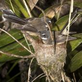 New Zealand fantail. Pair of North Island fantails building a nest. Oratia, November 2016. Image © John and Melody Anderson, Wayfarer International Ltd by John and Melody Anderson Love our Birds® | www.wayfarerimages.co.nz