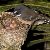 New Zealand fantail. Adult North Island fantail at nest with small chicks. Oratia, December 2016. Image © John and Melody Anderson, Wayfarer International Ltd by John and Melody Anderson Love our Birds® | www.wayfarerimages.co.nz