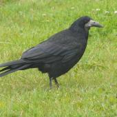 Rook. Adult. Irvine, Scotland, July 2012. Image © Alan Tennyson by Alan Tennyson Alan Tennyson