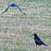 Rook. Two adults. Havelock North, July 2016. Image © Dick Porter by Dick Porter