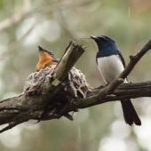 Satin flycatcher. Adult male beside nest, female on nest. Cranbourne Botanic Gardens, Melbourne, Victoria, December 2011. Image © Wayne Butterworth by Wayne Butterworth via Flickr, 2.0 Generic (CC BY 2.0)