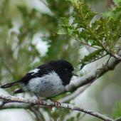 Tomtit. Adult male North Island tomtit. North Auckland, August 2007. Image © Suzi Phillips by Suzi Phillips