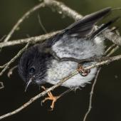 Tomtit. Juvenile male South Island tomtit. Routeburn Flats, Mt Aspiring National Park, January 2016. Image © Ron Enzler by Ron Enzler http://www.therouteburntrack.com