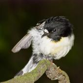 Tomtit. Adult male Chatham Island tomtit. Rangatira Island, Chatham Islands. Image © Art Polkanov by Art Polkanov
