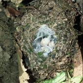 Tomtit. Chatham Island tomtit nest with 3 eggs. Rangatira Island, Chatham Islands. Image © Department of Conservation (image ref: 10047922) by Allan Munn, Department of Conservation Courtesy of Department of Conservation