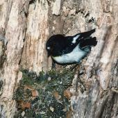 Tomtit. Adult male South Island tomtit at nest. Craigieburn, Canterbury, October 1989. Image © Peter Reese by Peter Reese