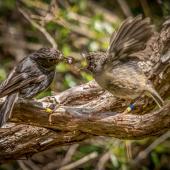 North Island robin. Adult female feeding fledged young. Tiritiri Matangi Island, January 2016. Image © Martin Sanders by Martin Sanders http://martinsanders.smugmug.com/