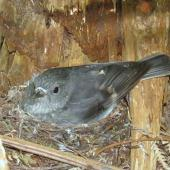 North Island robin. Adult female on nest (with 2 chicks). Tawharanui Regional Park, October 2015. Image © Oscar Thomas by Oscar Thomas https://www.flickr.com/photos/kokakola11/