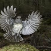 South Island robin. Adult female just taking flight. Routeburn Flats, Mt Aspiring National Park, January 2016. Image © Ron Enzler by Ron Enzler http://www.therouteburntrack.com