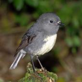 South Island robin. Adult male. Kowhai Bush,  Kaikoura, June 2008. Image © Peter Reese by Peter Reese