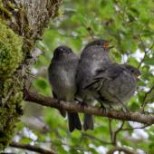 South Island robin. Juveniles. Cascade Creek, Fiordland National Park, November 2011. Image © Glenda Rees by Glenda Rees http://www.flickr.com/photos/nzsamphotofanatic/