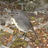 South Island robin. Adult among grey rocks. Arthur's Pass, April 2012. Image © James Mortimer by James Mortimer