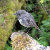 South Island robin. Adult. Eglinton Valley, January 2010. Image © James Mortimer by James Mortimer