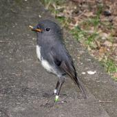 South Island robin. Adult with food item. Eglinton Valley, October 2009. Image © James Mortimer by James Mortimer