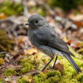 South Island robin. Adult. Eglinton Valley,  Fiordland, December 2011. Image © Sabine Bernert by Sabine Bernert www.sabinebernert.fr