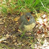 South Island robin. Adult on ground. Eglinton Valley,  Fiordland, December 2015. Image © Kathleen McIndoe by Kathleen McIndoe