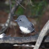 South Island robin. Stewart Island adult. Solomon Island, Stewart Island, March 2012. Image © Colin Miskelly by Colin Miskelly
