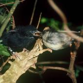 Black robin. Fledgling being fed by female Chatham Island tomtit cross-foster parent. Rangatira Island, Chatham Islands, January 1984. Image © Colin Miskelly by Colin Miskelly