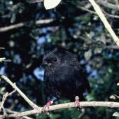 "Black robin. Adult ""Adrienne"". Mangere Island, Chatham Islands, January 1988. Image © Alan Tennyson by Alan Tennyson"