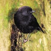 Black robin. Juvenile. Rangatira Island, Chatham Islands, February 2004. Image © Department of Conservation by Don Merton Courtesy of Department of Conservation