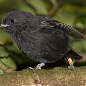 Black robin. Adult. Rangatira Island, Chatham Islands. Image © Art Polkanov by Art Polkanov
