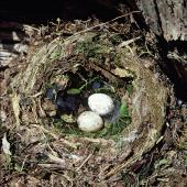 Black robin. Nest with 2 eggs. Mangere Island, Chatham Islands. Image © Department of Conservation (image ref: 10047925) by Rod Morris, Department of Conservation Courtesy of Department of Conservation