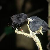 Black robin. Adult (left) feeding fledgling. Rangatira Island, Chatham Islands, January 2000. Image © Department of Conservation (image ref: 10046868) by Don Merton, Department of Conservation Courtesy of Department of Conservation