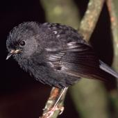 Black robin. Juvenile. Rangatira Island, Chatham Islands, February 2004. Image © Department of Conservation (image ref: 10054746) by Don Merton, Department of Conservation Courtesy of Department of Conservation