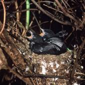 Black robin. Chicks nearly ready to fledge. Rangatira Island, Chatham Islands, February 2004. Image © Department of Conservation (image ref: 10054751) by Don Merton, Department of Conservation Courtesy of Department of Conservation