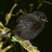 Black robin. Juvenile. Rangatira Island, Chatham Islands, February 2004. Image © Department of Conservation (image ref: 10057187) by Don Merton, Department of Conservation Courtesy of Department of Conservation