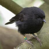 Black robin. Adult. Mangere Island, Chatham Islands, October 2020. Image © James Russell by James Russell