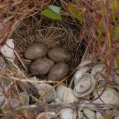 Eurasian skylark. Nest with 4 eggs. Miranda, November 2008. Image © Peter Reese by Peter Reese