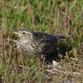 Eurasian skylark. Adult. Potts Road,  Whitford. Image © Noel Knight by Noel Knight