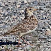 Eurasian skylark. Adult. Cape Kidnappers, November 2009. Image © Dick Porter by Dick Porter